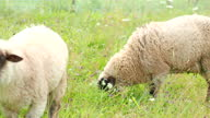 istock Two young rams twitching, chewing and eating fresh green grass in the garden of farm in 4K VIDEO. 1292092509