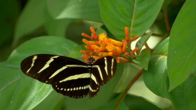Two Zebra Longwing Butterflies Visit the Same Flower