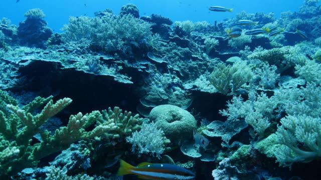 vídeos y material grabado en eventos de stock de pargo con dos-punto, arrecife de coral - zona pelágica