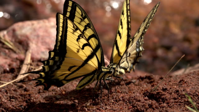Two-tailed tiger swallowtail butterflies feed on minerals Red Rocks Park Morrison Colorado video
