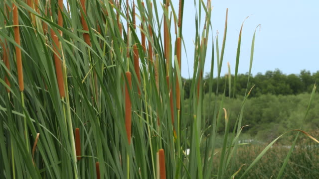 typha angustifolia blowing on the wind. - тростник стоковые видео и кадры b-roll