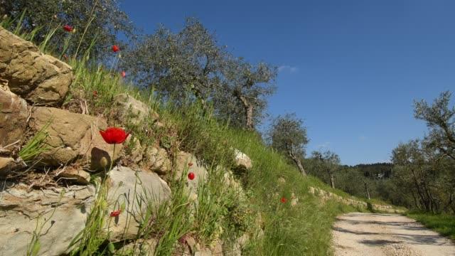 オリーブの木とポピーの花とトスカーナのキャンティの田舎で砂利道と典型的なトスカーナの風景 - 石垣点の映像素材/bロール