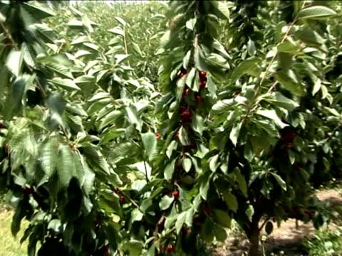 u_pick cherry 2 - 枝 植物部分 個影片檔及 b 捲影像