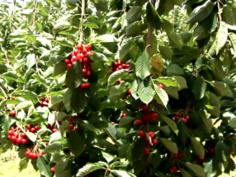 u_pick cherry 3 - 枝 植物部分 個影片檔及 b 捲影像