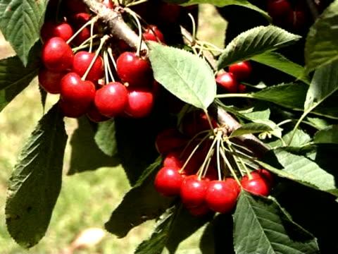 ciliegia u_pick 5 - colore ciliegia video stock e b–roll