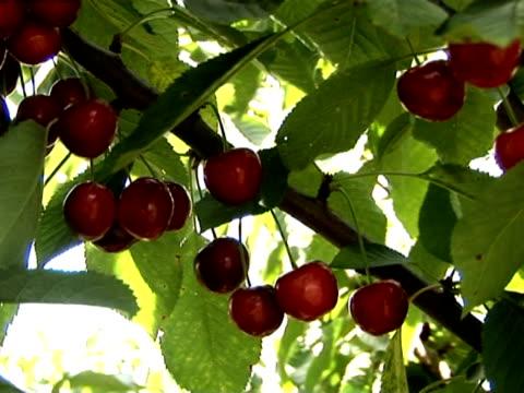 ciliegia u_pick 6 - colore ciliegia video stock e b–roll