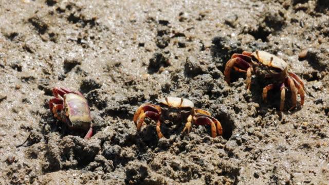Uca tangeri crabs - Isla Saltes near Punta Umbria, Huelva.