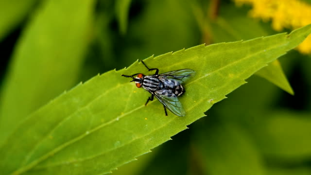 Ugly red eyed cluster fly cleaning legs sitting on leaf