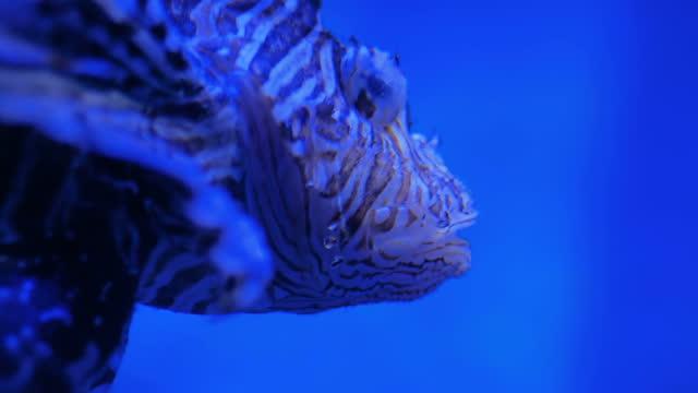 zehirli dikenleri olan çirkin çizgili aslan balığı. mavi ışık - i̇htiyoloji stok videoları ve detay görüntü çekimi