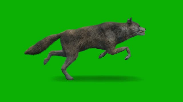 Ugly wolf running on green screen. The concept of animal, wildlife, games, back to school, 3d animation, short video, film, cartoon, organic, chroma key, character animation, design element, loopable