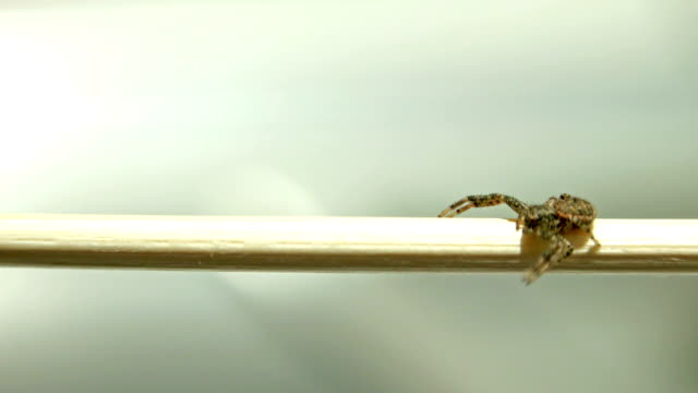 uhd spider crawling across white stick invading home closeup, Sony 4k shoot video