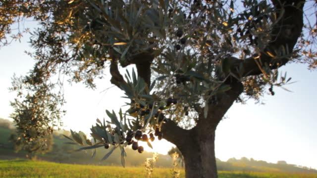 ulivo controluce carrelata avanti Ulivo ripreso al tramonto controluce con carrellata in avanti e flare dei raggi del sole. olives stock videos & royalty-free footage