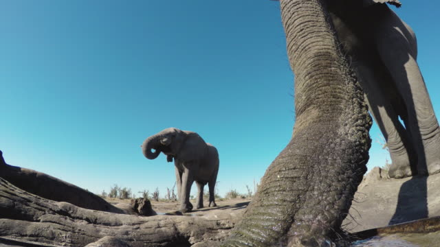 4k ultra close-up low angle view of an elephant walking up to a waterhole and drinking with another elephant in the background, botswana - водная яма стоковые видео и кадры b-roll