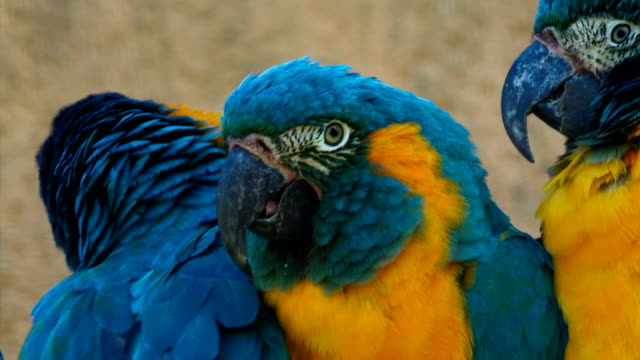 Ultra closeup shot of 3 blue-throated macaws - ara glaucogularis - fighting for space in a perch video