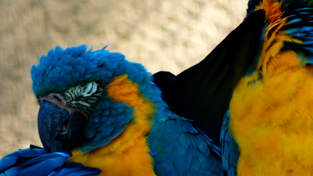 Ultra closeup shot of 3 critically endangered cute blue-throated macaws playing with each other video