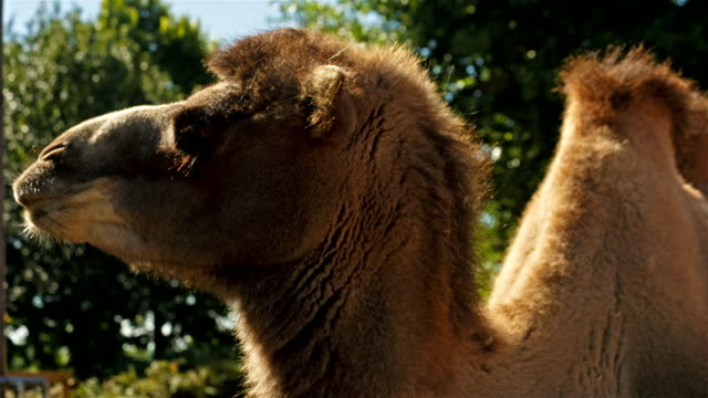 Ultra closeup shot of a camel against a green foliage background video
