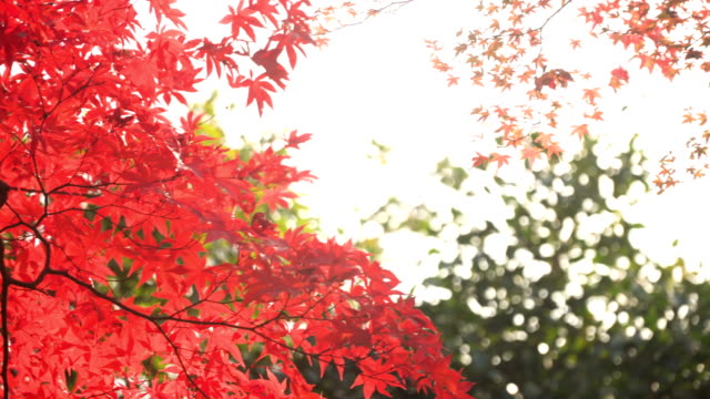 under red vivid maple leaves with sunlight - maple leaf stock videos & royalty-free footage