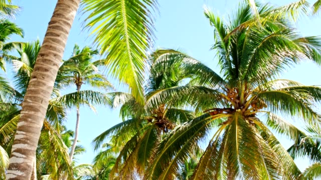 under the coconut trees - albero tropicale video stock e b–roll