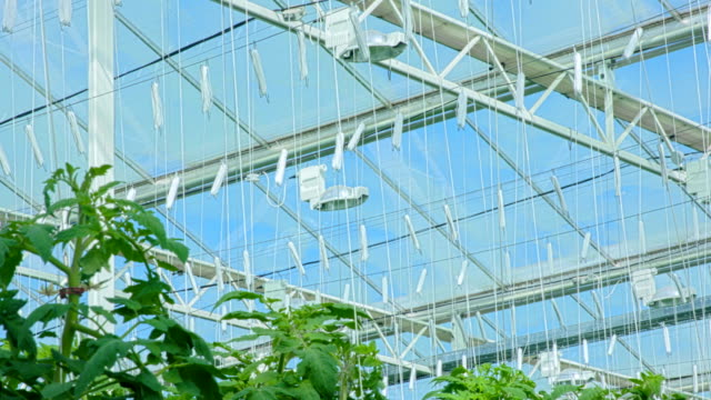 Under the roof of modern tomato greenhouse video
