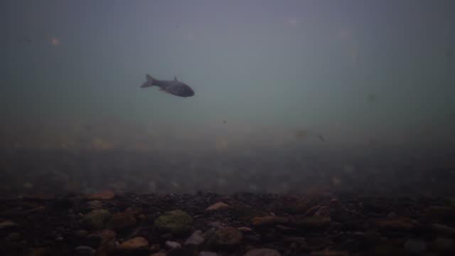 under water, salmon and leaves. - ocean spokojny filmów i materiałów b-roll