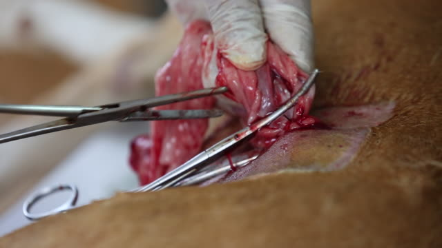 Undergoing surgery and sewing wounds female dogs by a veterinary surgeon. Sterilization to reduce the birth rate. Healthcare and medical concept. video