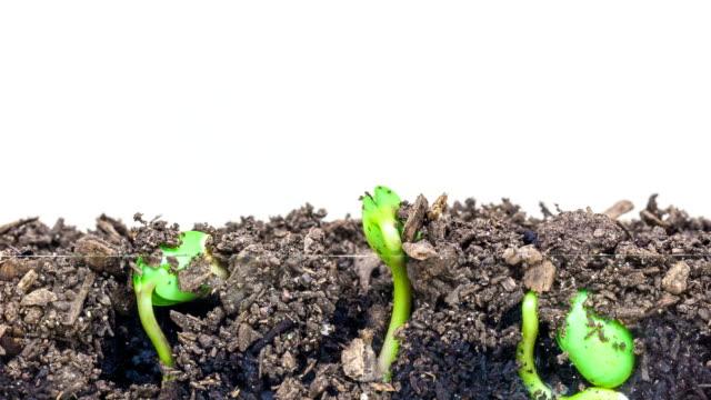 3 大豆もやし、白背景にショットから成長の地下と地上のビュー。 - 苗点の映像素材/bロール