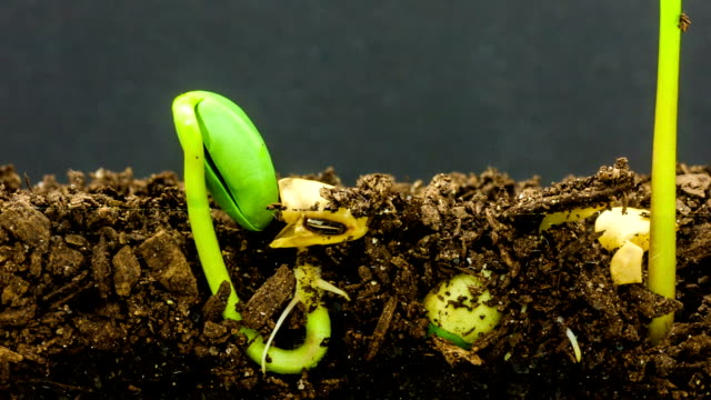 Underground and overground view of three soybeans growing from sprouts, shot against a black background. video