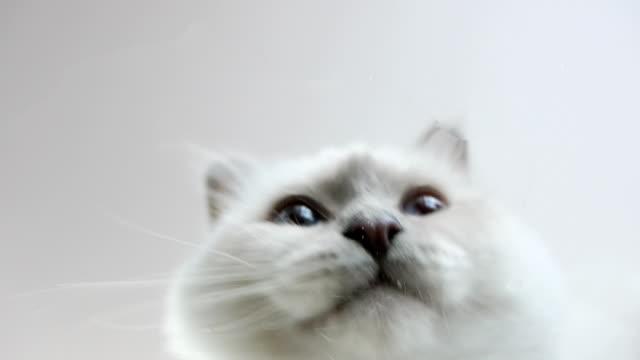 sotto visualizzazione di acqua potabile bianco gatto birmano - leccare video stock e b–roll