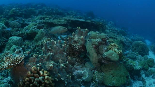vídeos y material grabado en eventos de stock de arrecife de coral submarino por la noche, mero marmoleado - sea life park