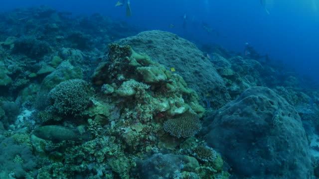 vídeos y material grabado en eventos de stock de arrecife de coral submarino, mero marmoleado - zona pelágica