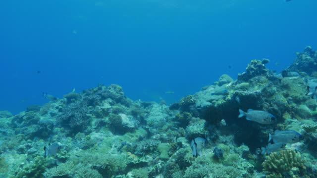 vídeos y material grabado en eventos de stock de arrecife de coral submarino - zona pelágica