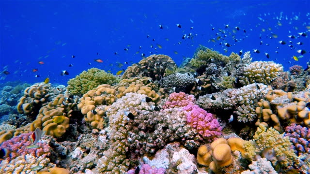 Undersea life on Coral reef with lot of small Fish / Red Sea video