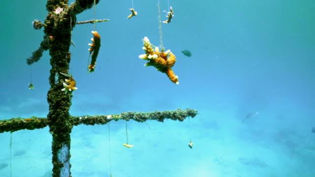 Unterwasser künstliche Riff wächst transplantierte Korallen – Video