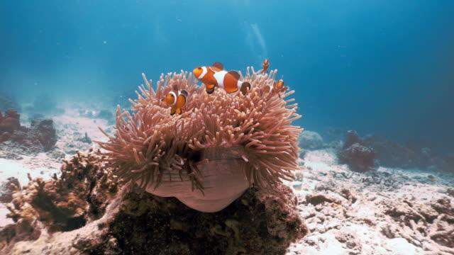 underwater clown fisk (amphiprion ocellaris) i magnifika havsanemon (heteractis magnifica) - iktyologi bildbanksvideor och videomaterial från bakom kulisserna