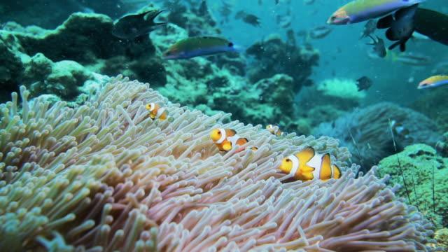 vídeos y material grabado en eventos de stock de pez payaso subacuático limpieza anémona de mar - tubo