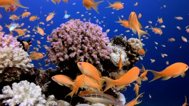 Underwater Colorful View Picture of underwater happy colorful fishes in the tropical reef of the Red Sea Dahab Egypt. coral cnidarian stock videos & royalty-free footage