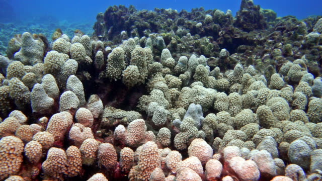 underwater coral bleaching on damaged fragile ecosystem ocean reef environment - clima video stock e b–roll