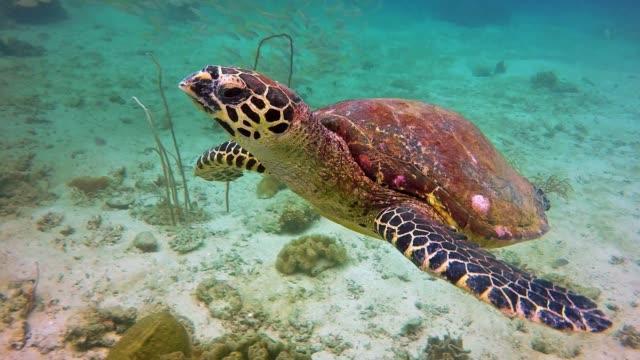 Unterwasser kritisch vom Aussterben bedrohten Karettschildkröte (Eretmochelys Imbricata) auf Phi Phi, Thailand – Video