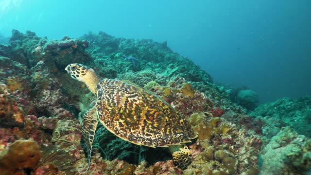 Underwater Critically Endangered species Hawksbill Sea Turtle (Eretmochelys imbricata) resting on coral reef