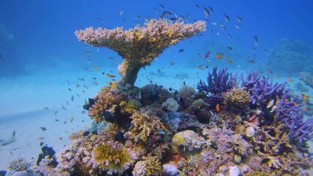 vídeos y material grabado en eventos de stock de buceo submarino en hermoso arrecife de coral con mucho pescado tropical en el mar rojo - bahía de lahami / marsa alam - coral cnidario