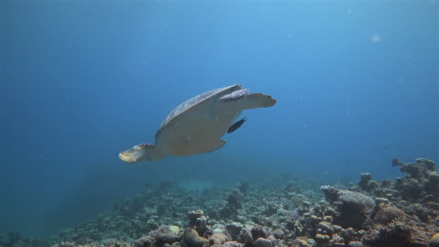 Underwater diving with green Sea Turtle sleeping in Red Sea / Marsa Alam