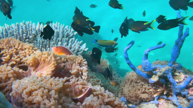 vídeos y material grabado en eventos de stock de cu imágenes subacuáticas de peces de arrecife de coral vistos durante el snorkel. anémona, payasos, filefish y labios dulces. - micronesia