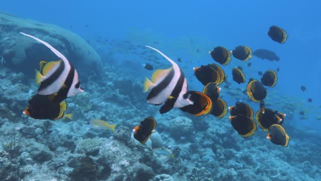 vídeos y material grabado en eventos de stock de imágenes submarinas de peces mariposa oscuros en el arrecife con peces banner en el océano pacífico. pov durante el snorkel o el buceo en la gran barrera de coral. cámara lenta, cámara roja. - micronesia