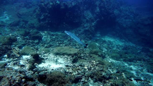Underwater footage of Great Barracuda (Sphyraena) on coral reef video