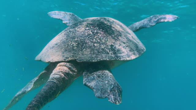undervattensbilder av huge green sea turtle livnär sig på havsgräs i nosy be, madagaskar. snorkling & indiska oceanen turism. - madagaskar bildbanksvideor och videomaterial från bakom kulisserna