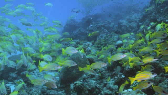 vídeos y material grabado en eventos de stock de imágenes subacuáticas de tortuganada a través de una escuela de pargo de rayas azules en el arrecife de coral. pov del buzo. - micronesia