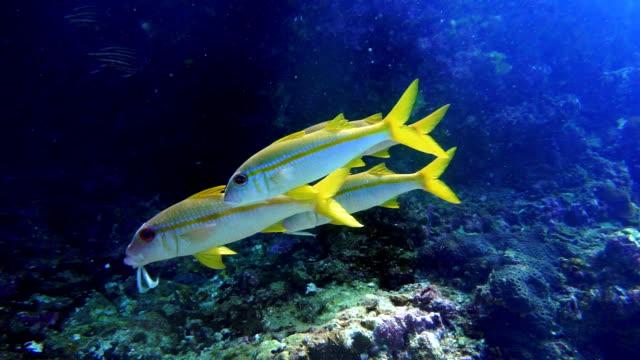 underwater footage of wild goldstripe goatfish (mulloidichthys vanicolensis) on coral reef - 20 sekund lub dłużej filmów i materiałów b-roll