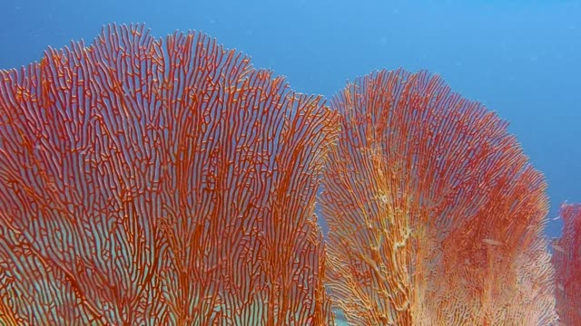 Underwater healthy Gorgonia sea fan coral reef Underwater close-up footage of a red Gorgonian Sea Fan on a coral reef.  Coral reefs are the one of earths most complex ecosystems, containing over 800 species of corals and one million animal and plant species.  Coral reefs are currently suffering from rising sea temperatures caused by Global Warming.  The water is clear blue in this example of a fragile ecosystem.  This image was taken whilst Scuba Diving at Phi Phi, Andaman Sea, Krabi, Thailand. reef stock videos & royalty-free footage