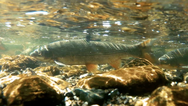 Underwater image in a shallow river where the fish lay eggs Large freshwater fish are collected in shallow waters and spawn, filmed underwater at close range. larva stock videos & royalty-free footage