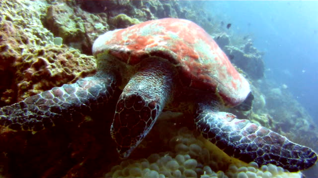 Underwater image of a wild Hawksbill Sea Turtle (Eretmochelys imbricate) eating coral.  Listed as Critically Endangered (facing an extremely high risk of extinction in the wild in the immediate future). These animals are extremely rare. video